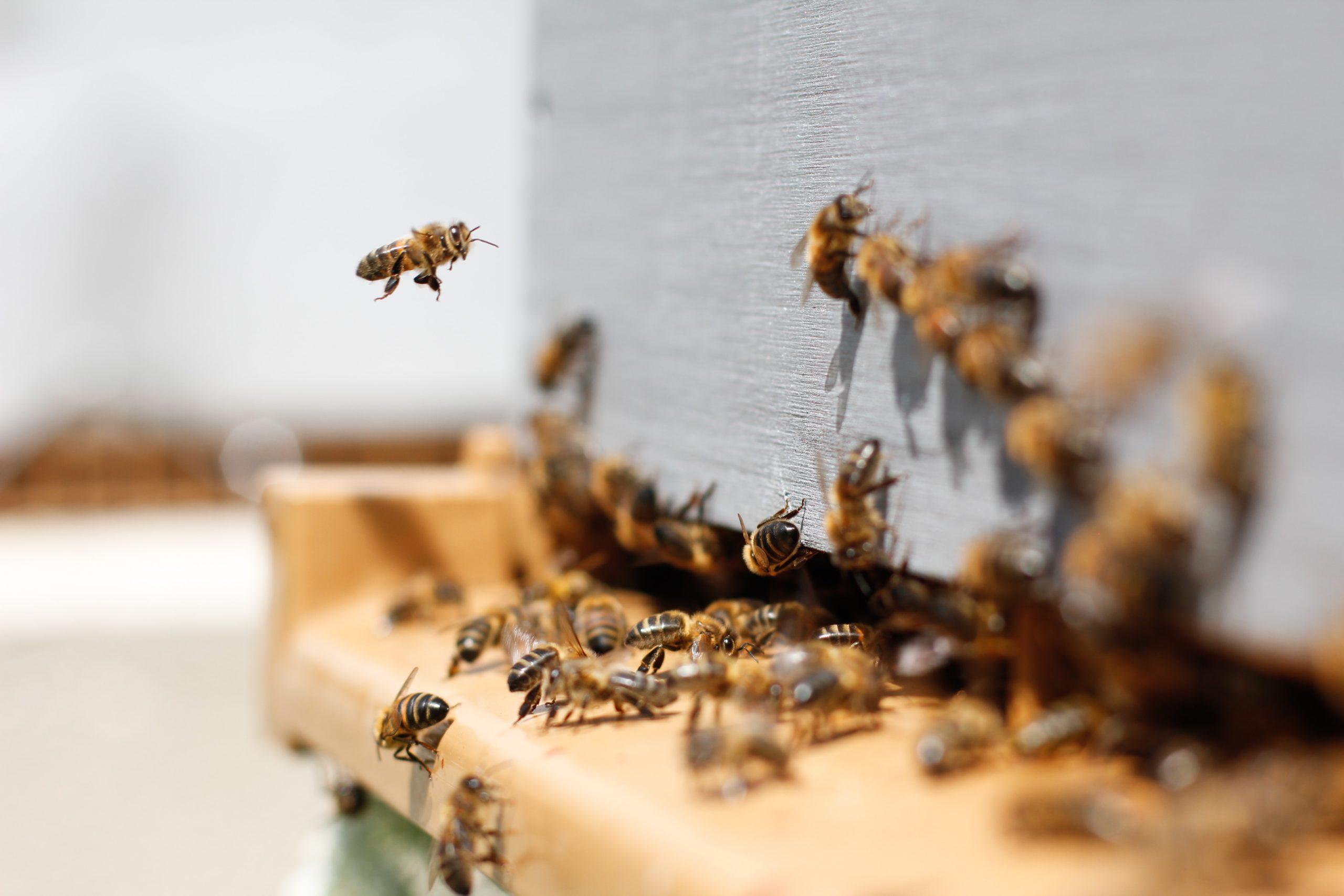 photo rucher avec abeille